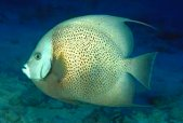 Image of: Classification Photo Of Swimming Tropical Fish Kingdom Animalia Flickr Classification Of Living Things Kingdom To Subphylum