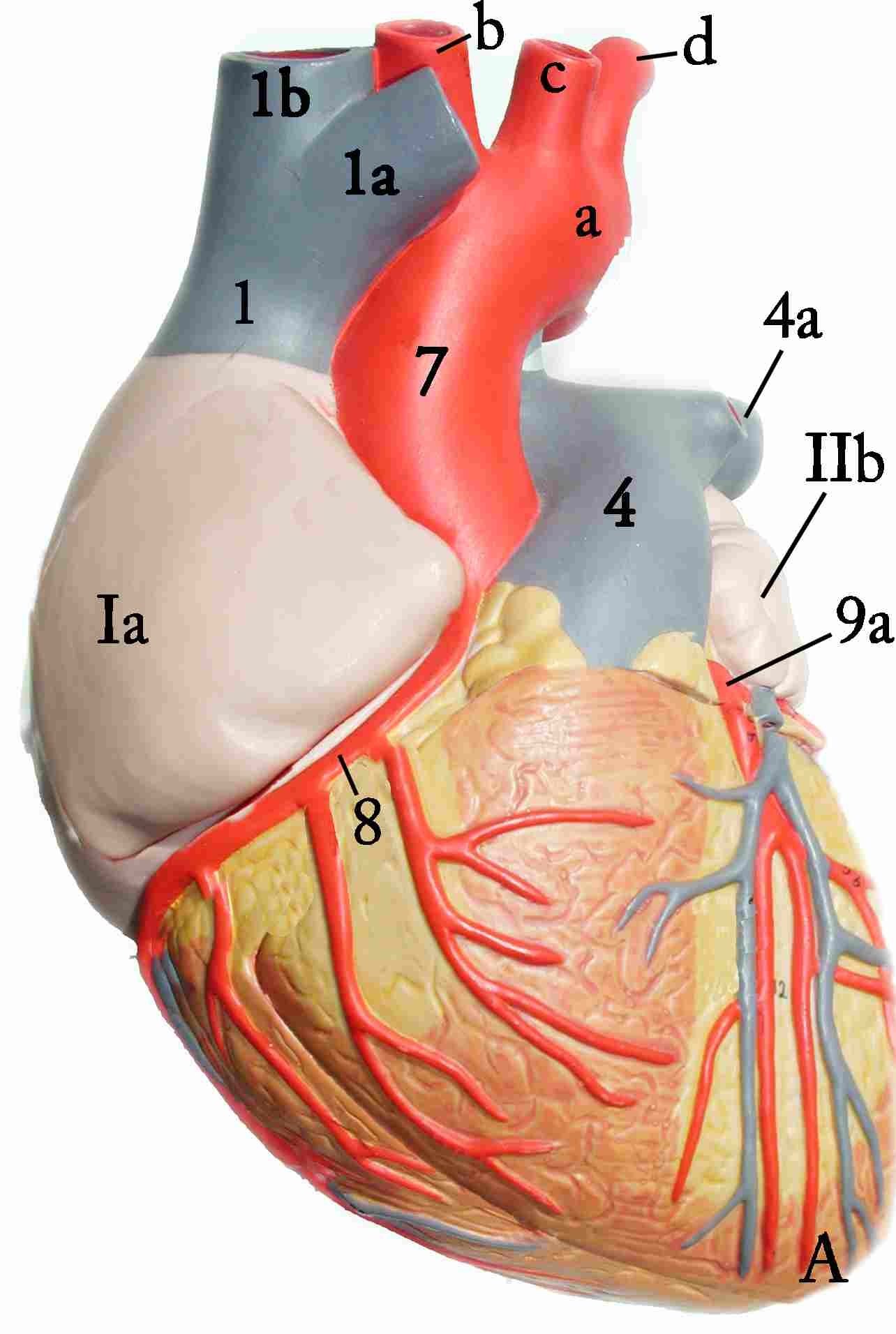 Heart Model Anterior View Click To Toggle Between Superficial And