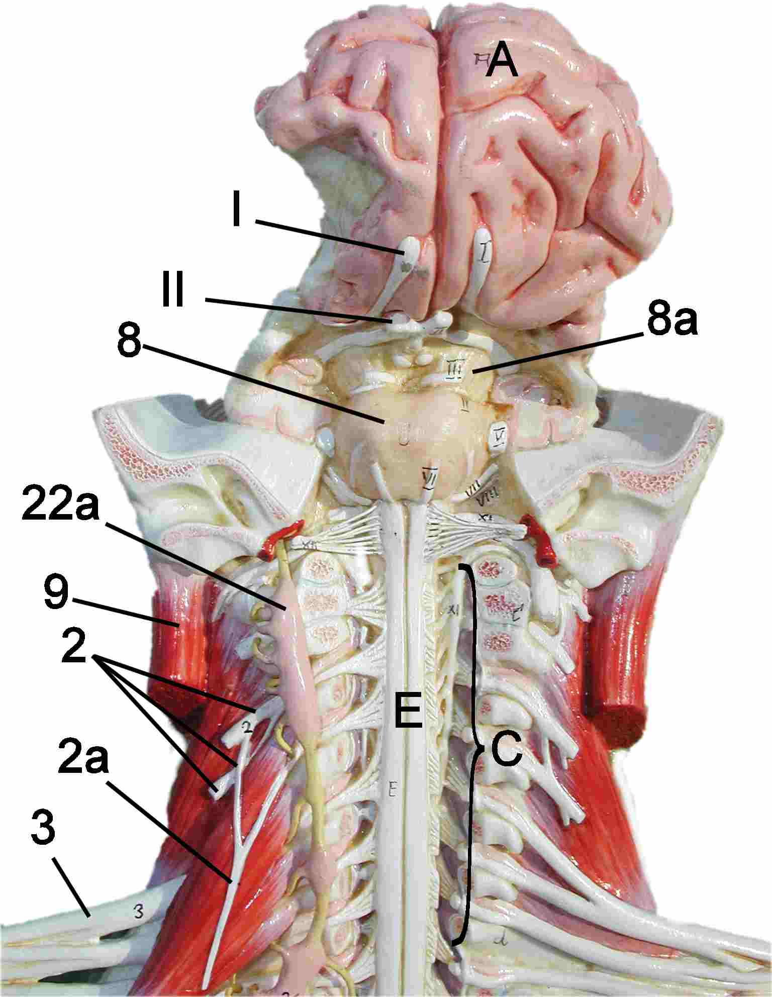 Nervous System Model Cervical Regionbrain