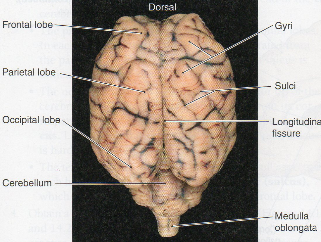 Sheep brain anatomy ventral - photo#22