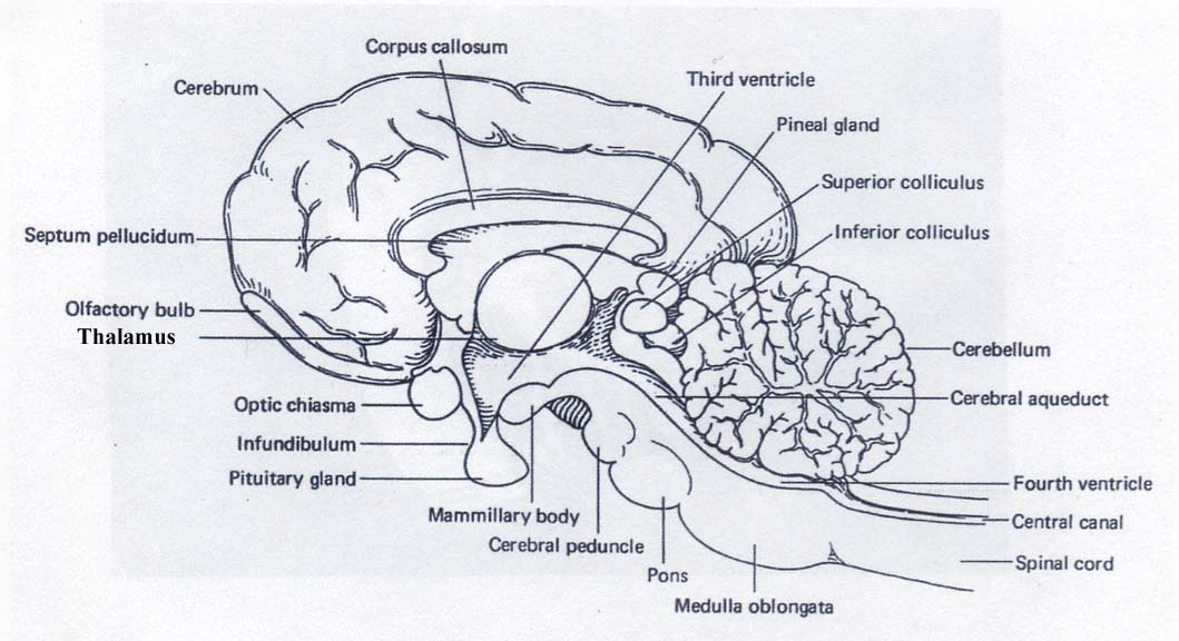 Cat brain anatomy