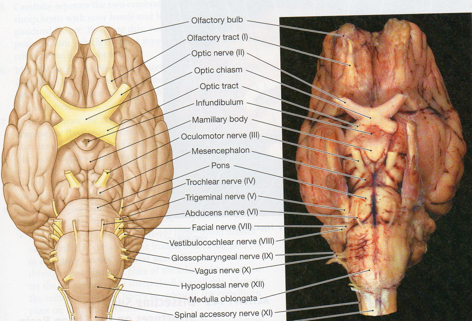 An Alternative To The Cranial Nerves Drawing Used This Manual Guide