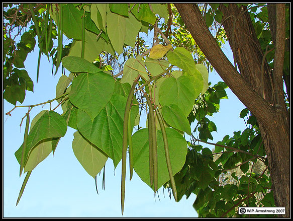 Arboretum images 7c the catalpa catalpa bignonioides is a large shade tree with heart shaped leaves and white flowers similar to pink dawn in fact this species is one of mightylinksfo
