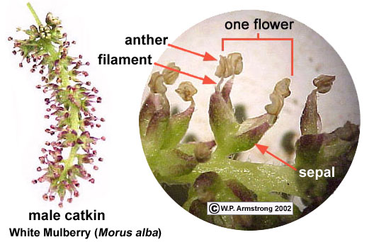 Inflorescence terminology part 1 left male staminate catkin from the white mulberry morus alba a fruitless variety commonly planted as a shade tree in southern california ccuart Choice Image