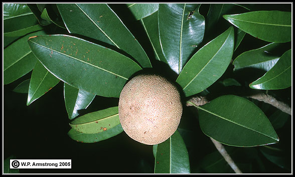 genus manilkara Biomed research international is a peer-reviewed studies with species from the genus manilkara indicated the presence of triterpenes , saponins.