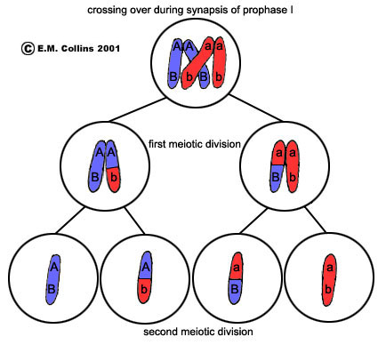 Lab manual exercise 2a meiosis crossing over occurs during synapsis of prophase i when the red and blue homologous chromosome doublets line up side by side at this time an adjacent red ccuart Images