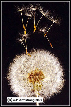 Wind dispersal of seeds inflorescence and mature seed bearing head of the eurasian dandelion taraxacum officinale the slightest gust of wind catches the elaborate crown of ccuart Image collections