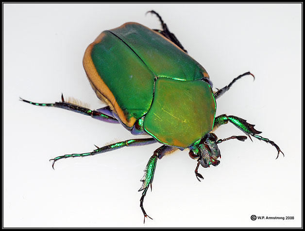 A Metallic Green Fig Beetle Cotinus Texana So Named Because It Is Often Found Feeding On Fruits During The Warm Summer Months In Southern California