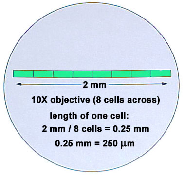 Obj: given microscope activity sheet swbat determine the field of.