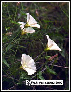Morning glories calystegia macrostegia ssp intermedia a common white flowered morning glory native to coastal hillsides and grassland areas of san diego county mightylinksfo
