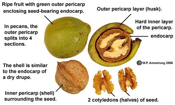hull fruit nut kernel differences