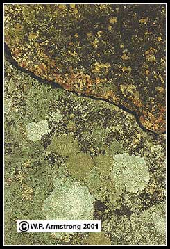 Rock lichen photos the crustose lichen species include patches of white dimelaena radiata and gray aspicilia the upper part of the rock sciox Image collections