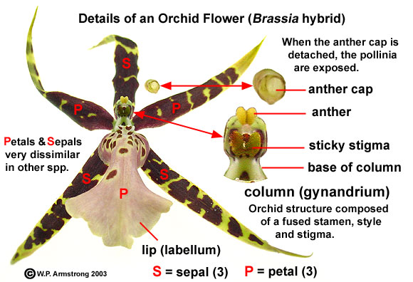 6. The Remarkable Bisexual Orchid Blossom