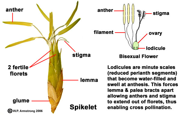 Maize flower unisexual meaning