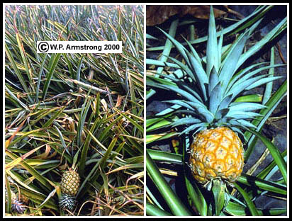 Pineapple Field On The Hawaiian Island Of Maui Is A Multiple Fruit Composed Many Berries Embedded In Fleshy Stem