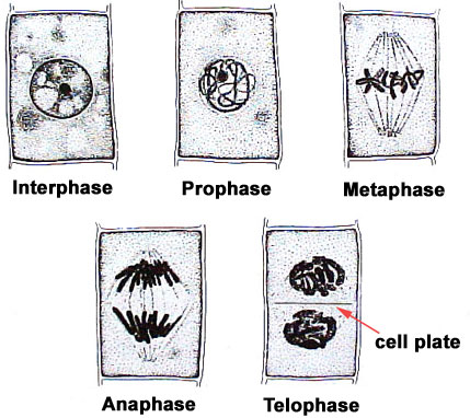 Lab manual exercise 2 the five major phases of plant mitosis unlike animals cells plant cells do not have centrioles or asters during telophase a partition or cell plate ccuart Images