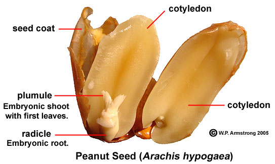 Labelled diagram of groundnut block and schematic diagrams peanut rh www2 palomar edu well labelled diagram of groundnut plant labelled diagram of groundnut ccuart Images