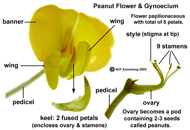 Peanut each flower consists of five petals a large banner two lateral wings and a keel formed by two fused petals the keel petals enclose the 9 stamens ccuart Choice Image
