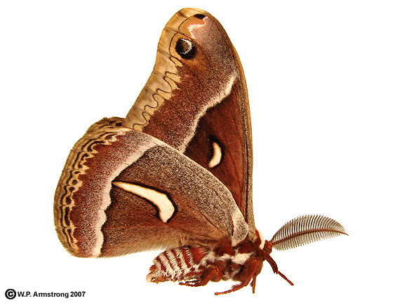 Armstrong State University >> Ceanothus Silk Moth