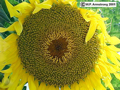 Fruit id 5 sunflower family asteraceae mightylinksfo Choice Image