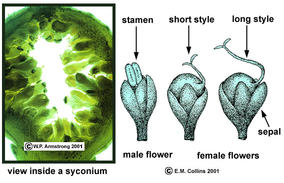 Unisexual flowers diagrams