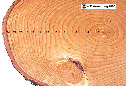 Counting Rings On Tree Is Called