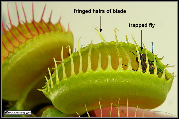 Carnivorous plants this fly is trapped between the folded halves of a venus fly trap leaf blade the fly is imprisoned within a jail of interlocking hairs along the leaf ccuart Choice Image