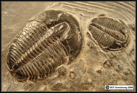 Trilobite Fossil in Display Case