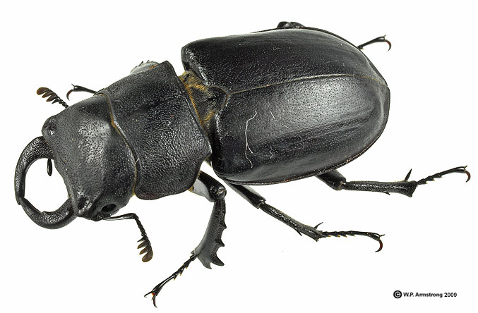 Stag Beetle Insect | www.pixshark.com - Images Galleries ...