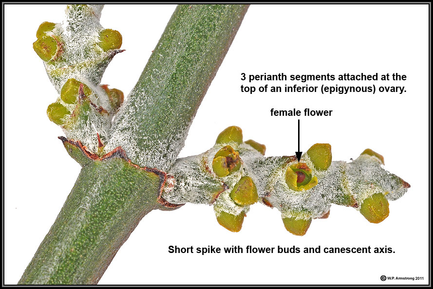 Parasitic Flowering Plants