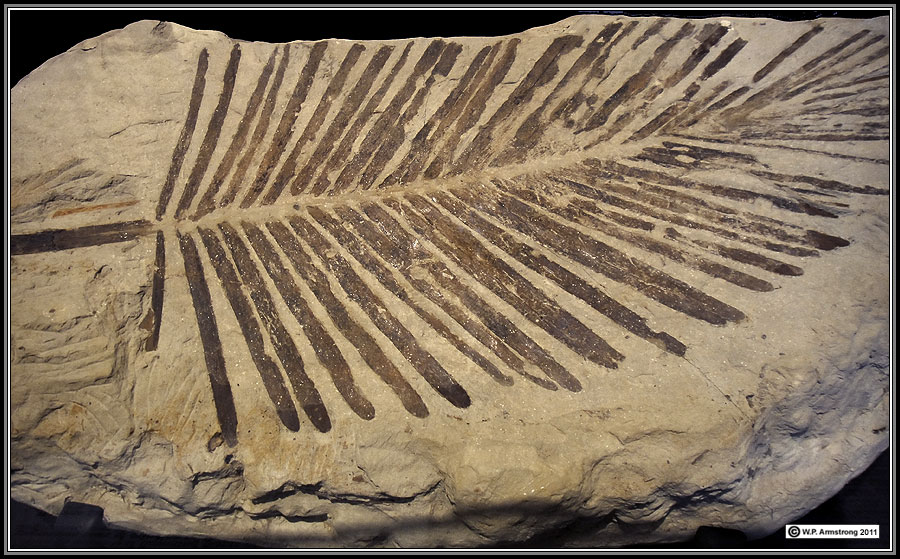 fossilized plants