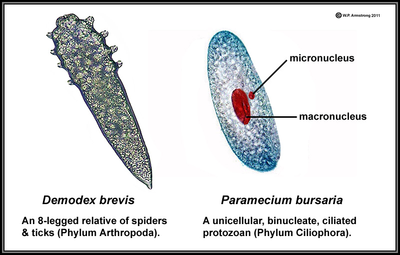 Plant cell diagram labeled paramecium online schematic diagram lab manual exercise 1 rh www2 palomar edu nucleus diagram labeled cheek cell labeled ccuart Image collections