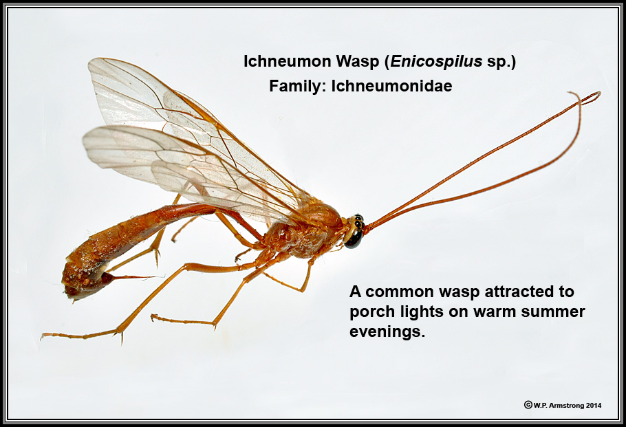 a common southern california ichneumon wasp (enicospilus sp )  it  parasitizes the larvae (caterpillars) of various larger moths